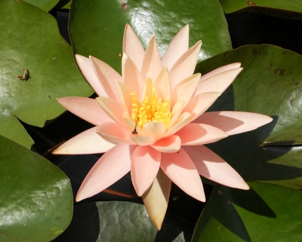 Unsorted Peach/Orange Hardy Water Lily