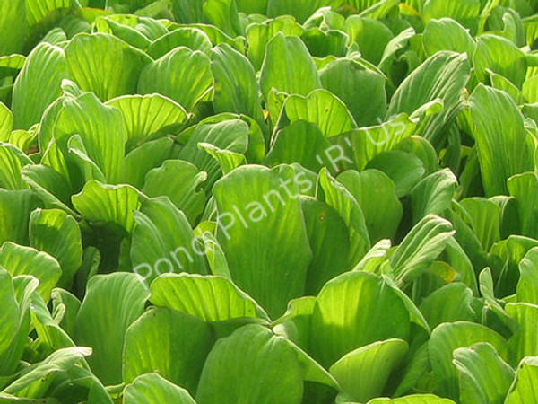 Water Lettuce- Floating Plant