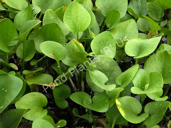 Frogbit- Floating Plant
