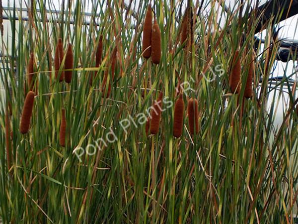 Zebratail Cattail- Hardy Bog Plant