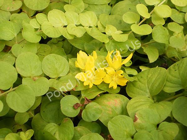 Golden Creeping Jenny- Hardy bog Plant
