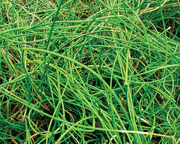 Corkscrew Rush- Hardy Bog Plant