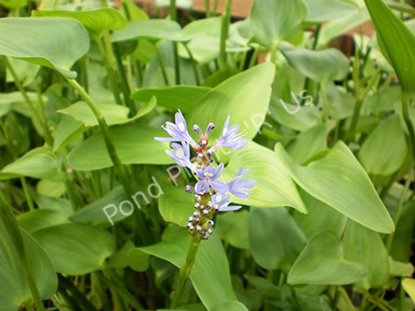 Pickeral Rush- Hardy Bog Plant