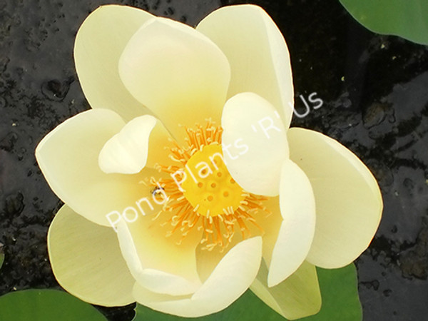 Giant Sunburst- Hardy Water Lotus