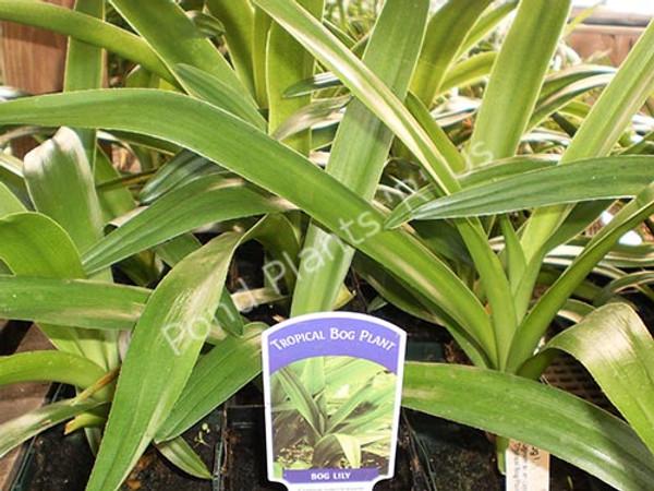 Bog Lily- Tropical Bog Plant