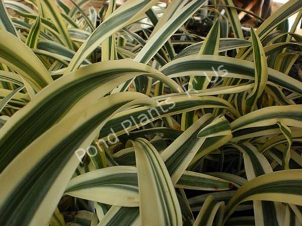 Variegated Spider Lily- Tropical Bog Plant