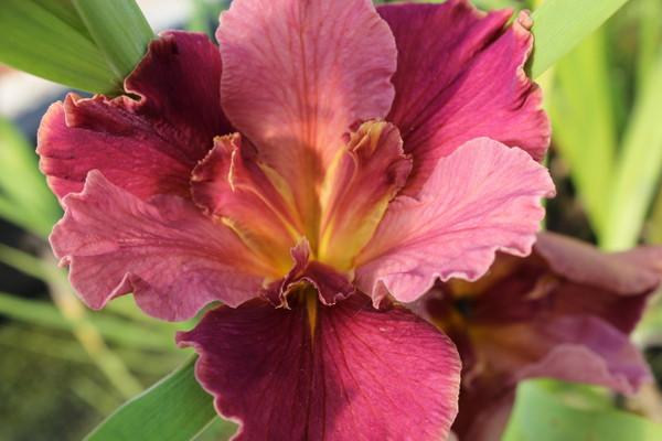 Peaches And Wine - Hardy Louisiana Iris