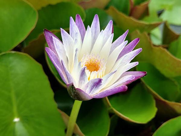 Purple Joy -  Tropical Water Lily