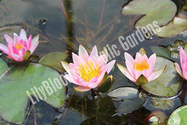 Laydekeri Lilacea - Dwarf Pink Water Lily