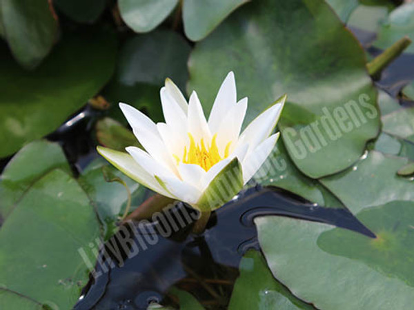 Snow Princess - Dwarf White Water Lily