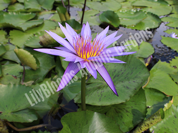 Purple Beauty - Purple Tropical Water Lily