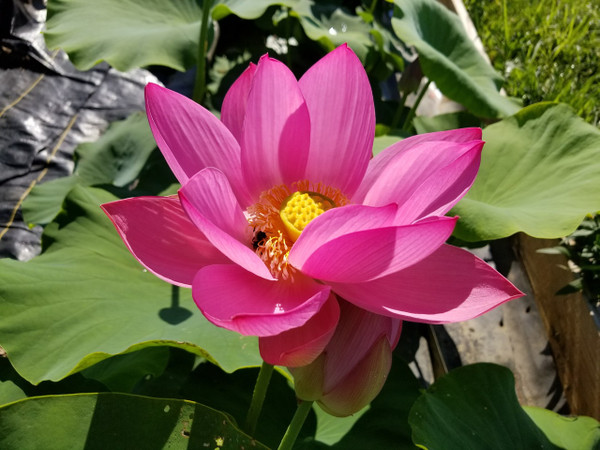 Assorted Pink Water Lotus