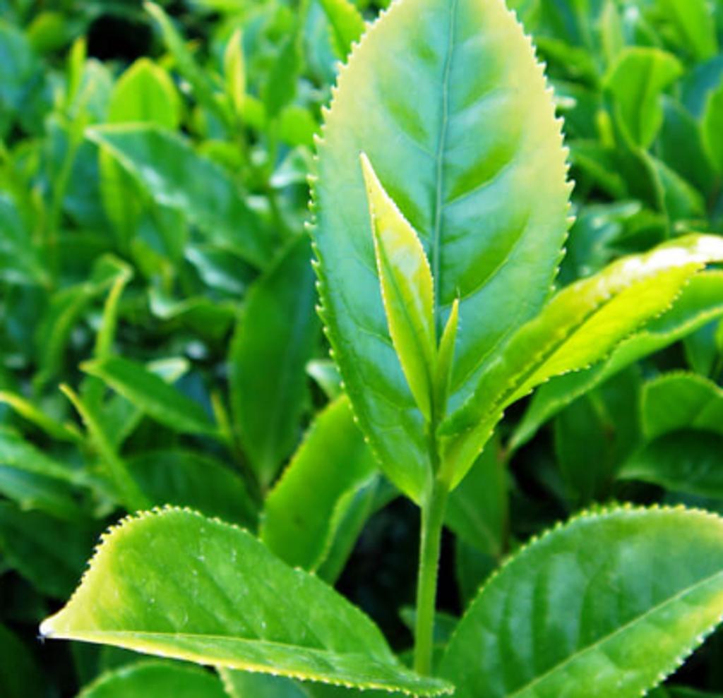 The vert - Green Tea Diffuser