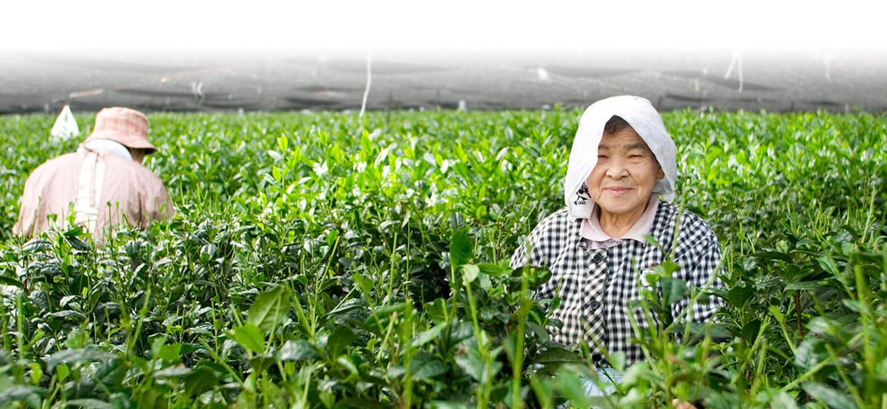 Japanese Farmers in Tea Fields