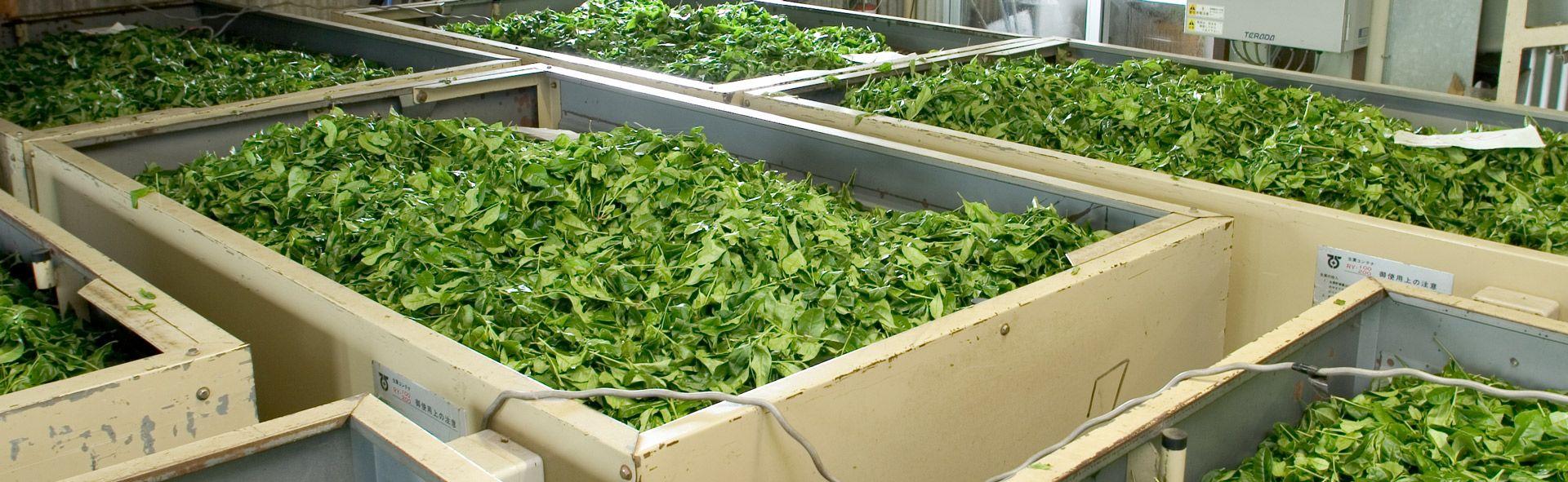 Header Image: Tea leaves in wooden bins after being harvested