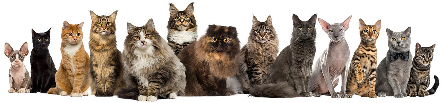 A long line of different cats and kittens in different breeds and sizes looking at the camera