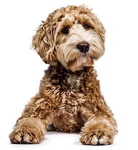 Cute Golden Doodle Puppy Dog