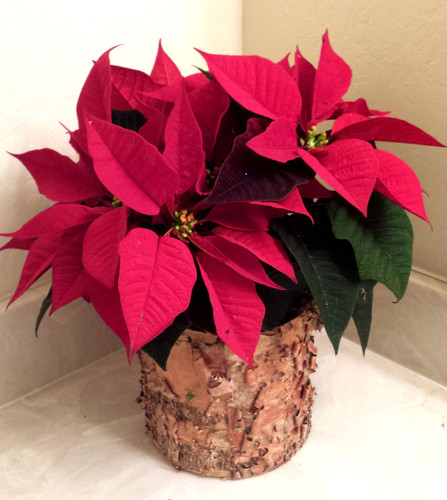 Festive Poinsettia - colors vary - small starting at $31
