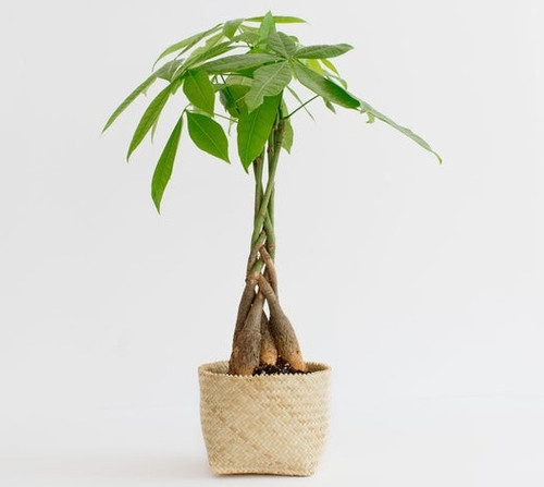 Money Tree - potted