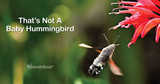 That's Not a Baby Hummingbird!