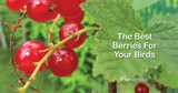 Berry Bushes Your Birds Will Love