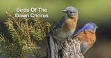Birds of the Dawn Chorus