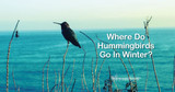 Where Do Hummingbirds Go in Winter?
