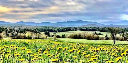 Dandelions Loving their View