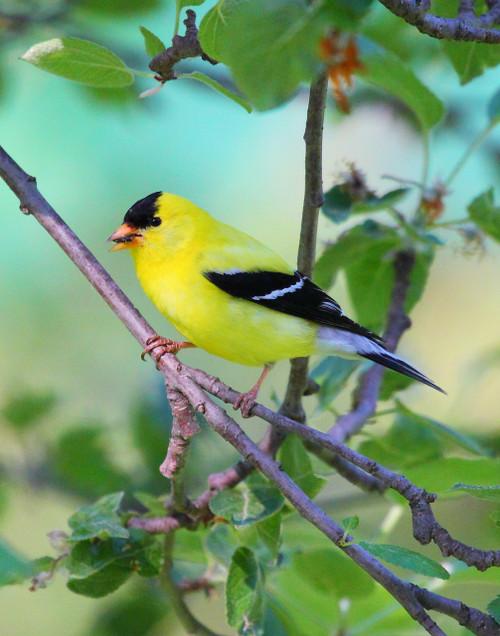 American Goldfinch - Swanton, VT