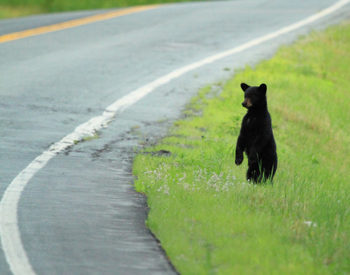 Black Bear Cub - Ferdinand, VT