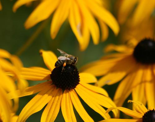 Black Eyed Bee - Burlington, VT