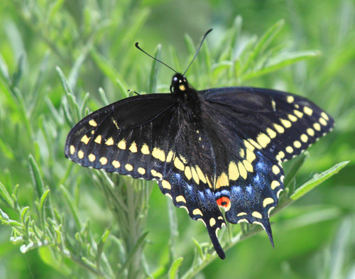 Black Swallowtail - Swanton, VT