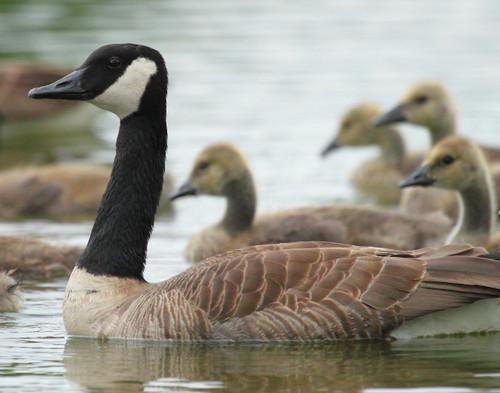 Canadian Geese - Ferrisburgh, VT