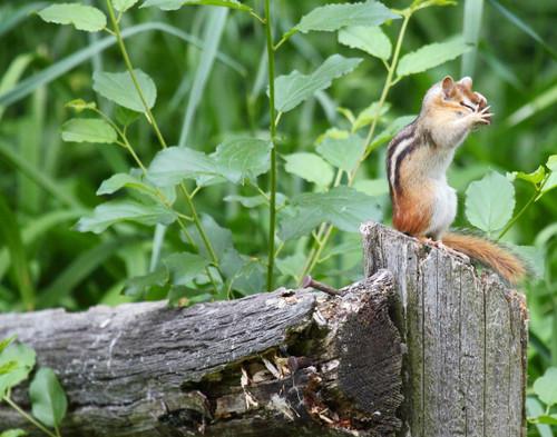 Chipmunk Hiding - Swanton, VT