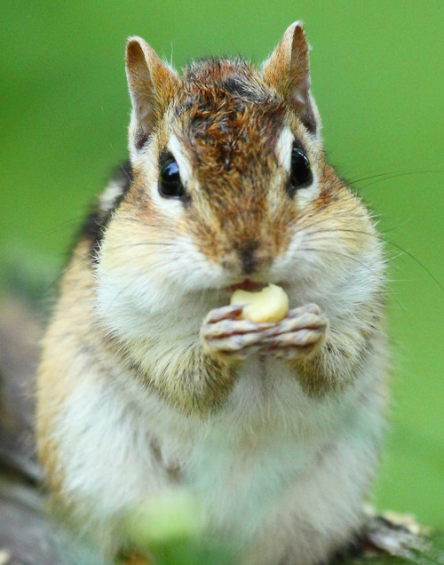Chipmunk Snacking - Swanton, VT