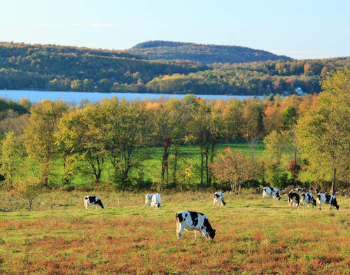 Cows by Carmi - Franklin, VT