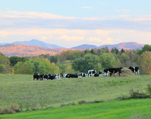Cows in the Valley - Sheldon, VT