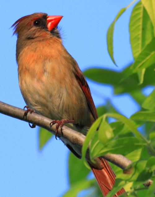 Female Cardinal - Swanton, VT