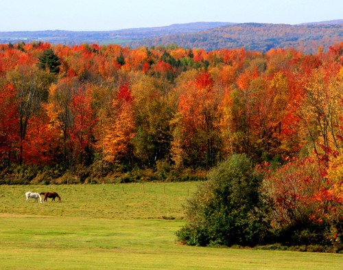 Horses in Autumn - Bakersfield, VT
