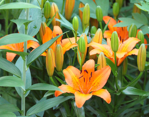 Orange Lilies - Swanton, VT