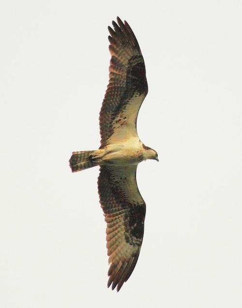 Osprey in Flight - Swanton, VT