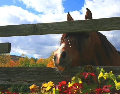 Peeking Horse -  Woodstock, VT