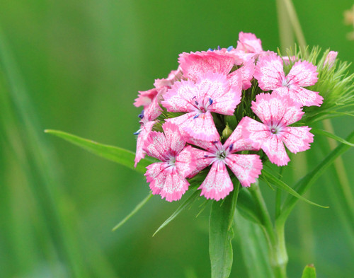 Pink Blossoms - Ferrisburgh, VT