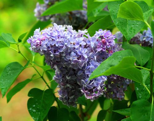 Purple Lilacs - Swanton, VT