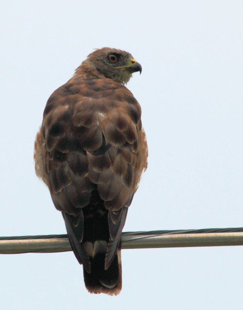 Red Tailed Hawk - Highgate, VT