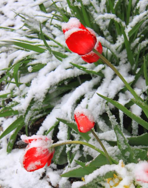 Snowy Tulips - St. Albans, VT