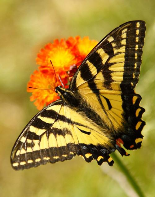 Tiger Swallowtail - Enosburg, VT