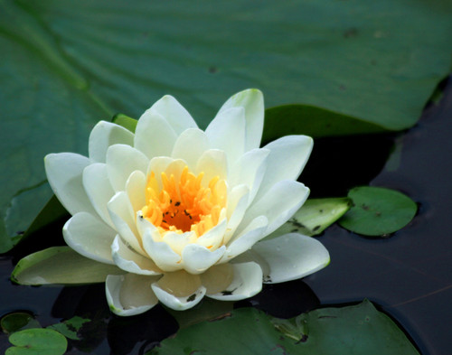 Water Lily - Swanton, VT