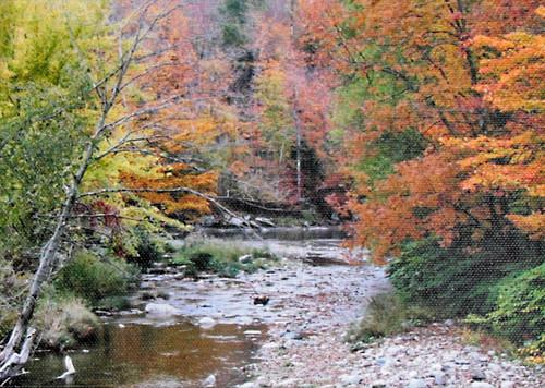Maple Autumn Leaves near Stream