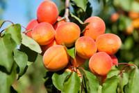 apricot perfume sample set